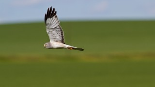 Northern Harrier along the Enchanted Highway in North Dakota by Joshua Galicki.