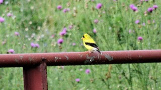 goldfinch15july14fmitchell