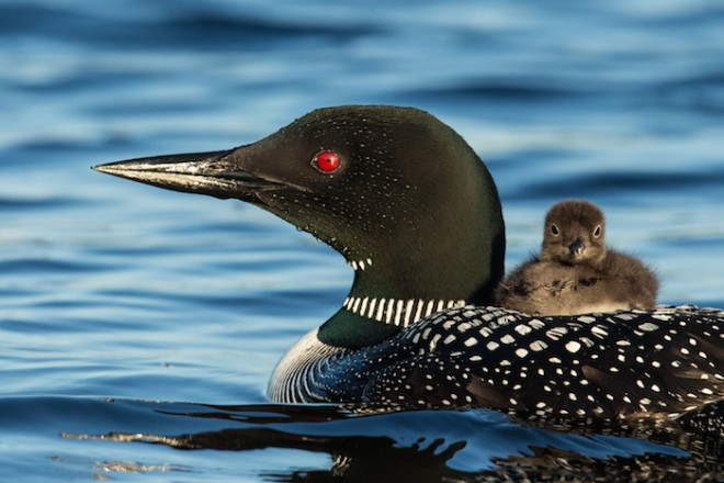 Common Loons ©2014 William Smith