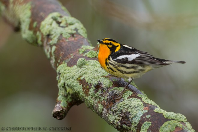 Blackburnian Warbler, Magee Marsh, Ohio, by Christopher Ciccone.