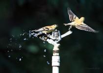 AMGO-rainbird_0961
