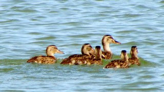 American-black-duck-family1
