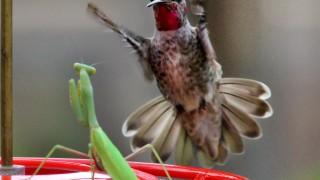 Annas-Hummingbird-Praying-Mantis_3901