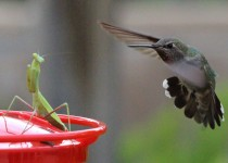 Annas-Hummingbird-Praying-Mantis_3917