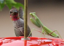 Annas-Hummingbird-Praying-Mantis_3970