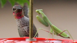 Annas-Hummingbird-Praying-Mantis_3970