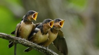 Barn Swallows at Horicon Marsh, Wisconsin, by Kim VanHoogen.
