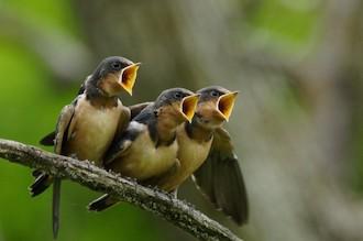 Barn Swallows at Horicon Marsh, Wisconsin, by Kim VanHoogen.