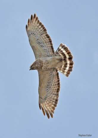 Broad-winged Hawk in northern Wisconsin in April 2013 by sfisher.