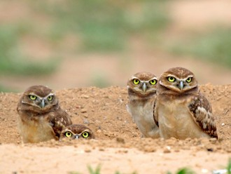 Burrowing Owls by Robert Martinez.