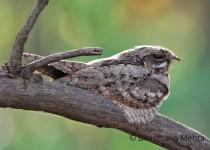 CSC_4926-Indian-Grey-Nightjar
