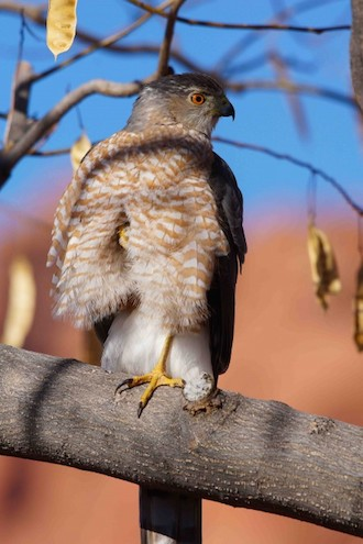 Cooper's Hawk in Ivins, Utah, in January 2013 by redfish.