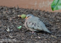 DSC0008-Common-Ground-Dove