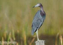 DSC0265-Little-Blue-Heron
