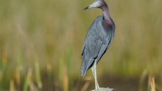 DSC0265-Little-Blue-Heron