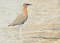 DSC_0782-Indian-Courser-Photographed-by-Bhasmang-Mehta-India