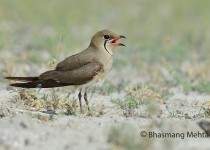DSC_1327-Small-Pratincole-Photographed-by-Bhasmang-Mehta-India1