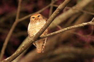 Ferruginous Pygmy-Owl in Brazil by docdpp.