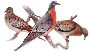 Fuertes Passenger Pigeon_320x180
