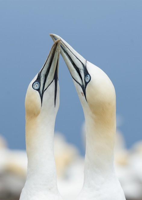 Northern Gannets ©2014 Charles Gangas