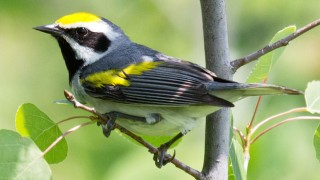 Pretty Golden-winged Warbler is one of many species of conservation concern that die every year after colliding with buildings. Photo by Laura Erickson.