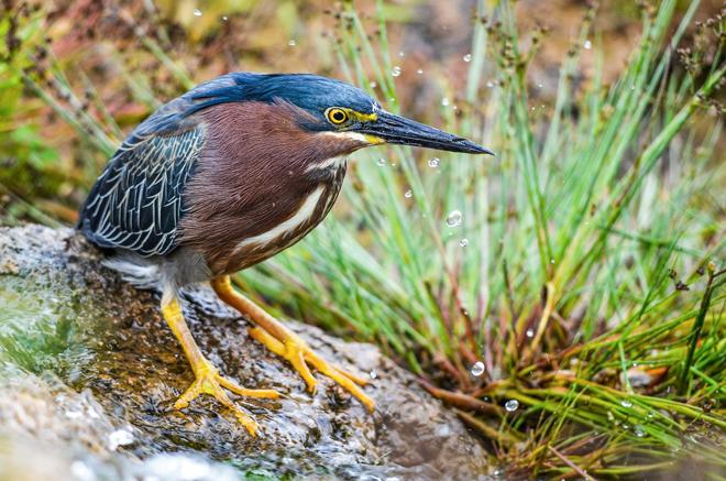 Green Heron ©2014 Walker Noe