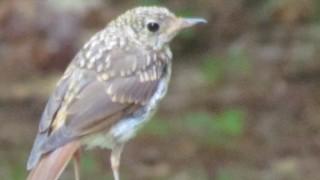 Hermit-Adirondack-Thrush