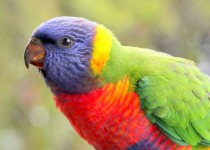 IMG_0601_BabyLorikeet_BirdWatching