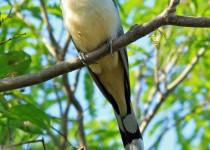 Mangrove-Cuckoo-Dagney-John