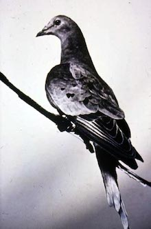 Martha, the last Passenger Pigeon, in 1912 (Wikimedia Commons).