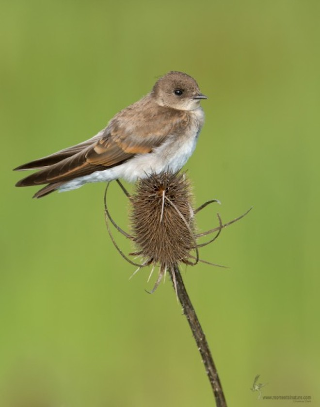Northern Rough-winged Swallow_660x839