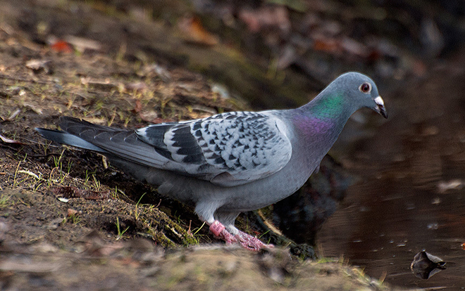 Rock_Pigeon-020914-banded