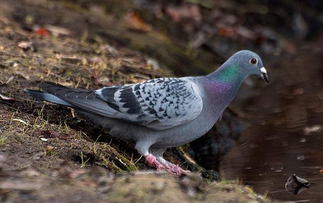 Rock_Pigeon-020914-banded