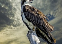 Scott_Sandy_Osprey_on_a_dead_tree