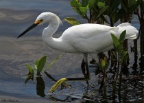 Snowy_Egret_Sgn_Small