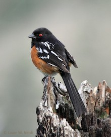 Spotted Towhee in British Columbia by Laure Wilson Neish.