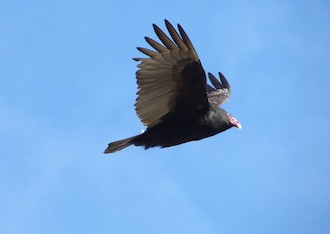 Turkey Vulture, Bordentown, New Jersey, by Charles Wen.