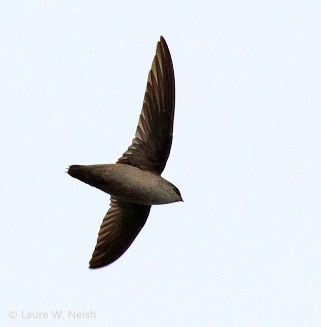Vaux's Swift over Penticton, British Columbia, by Laure Wilson Neish.
