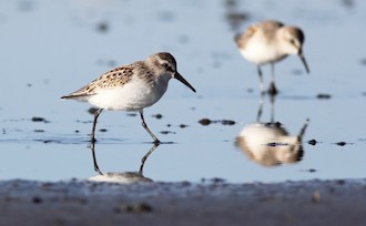 Western Sandpipers at Boundary Bay, Delta, British Columbia, by Liron Gertsman.