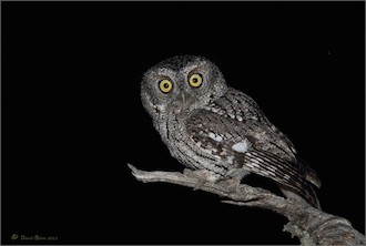 Whiskered Screech-Owl at Mount Lemmon, Arizona, by Daniel Behm.
