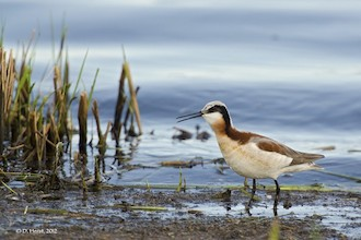 Wilson's Phalarope at Murray Marsh, Edmonton, Alberta, by westcoastbirder.
