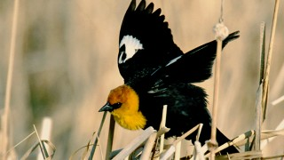 Yellow-headed-Blackbird-Devils-Lake-ND_03