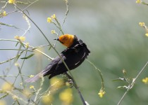 Yellow-headed-Blackbird-Lake-Skinner_8554