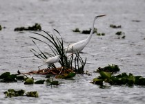 cattle-egret-great-white-heron