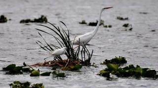cattle-egret-great-white-heron
