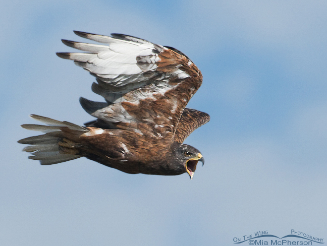 Ferruginous Hawk in Box Elder County, Utah, by miam.