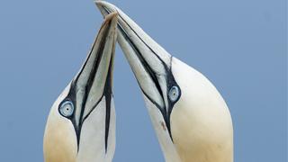 gannets-thumbnail