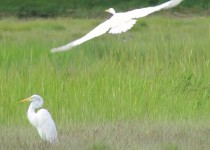 great-egrets-flight