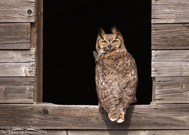 Great Horned Owl, female