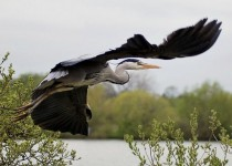 heron-flying